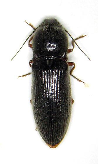 Click er - Hemicrepidius - female