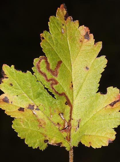 Nepticulidae on Ninebark - Stigmella corylifoliella