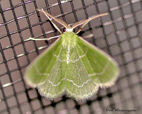 Wavy-lined Emerald Moth - Synchlora aerata - male