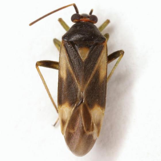 Orthotylus ornatus Van Duzee - Orthotylus ornatus