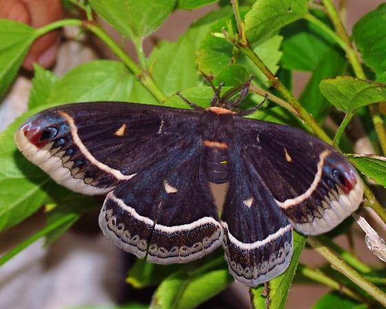 Eupackardia calleta - Calleta Moth - Eupackardia calleta