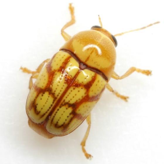 Cryptocephalus guttulatellus Schaeffer - Cryptocephalus guttulatellus