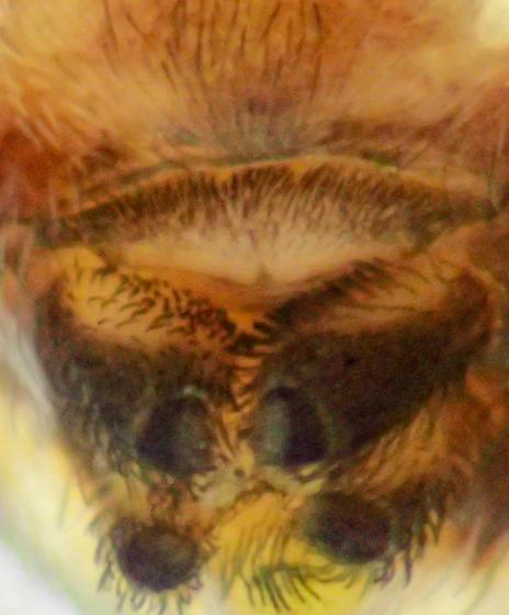 M. pallidus female - Mallos pallidus - female