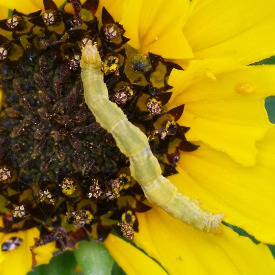 Looper(?) caterpillar in South Florida - Pleuroprucha insulsaria