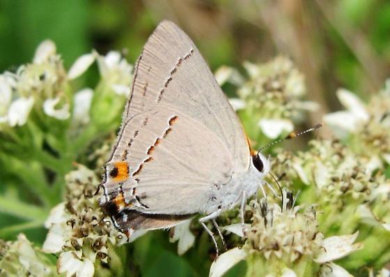 what species? - Strymon melinus - male