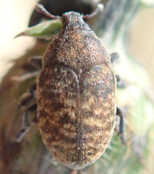 Beetle - Larinus obtusus