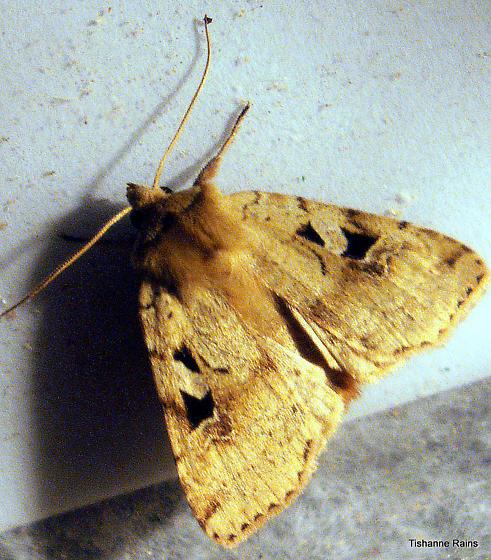 Moth-Diarsia esurialis - Hodges#10920 - Diarsia esurialis
