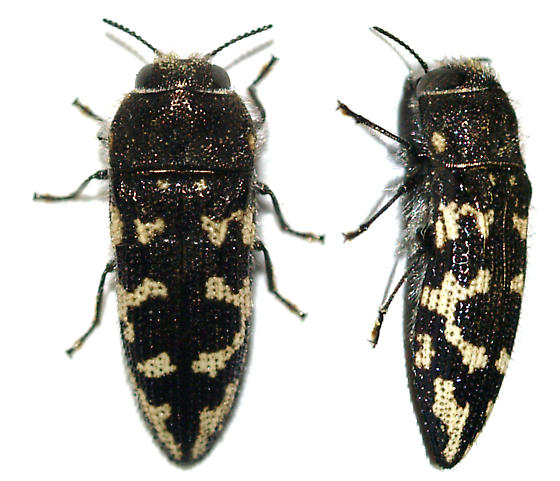 Acmaeodera (neoneglecta?) - Acmaeodera bowditchi