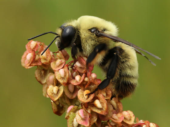 Bumble Bee or mimic? - Bombus nevadensis - male