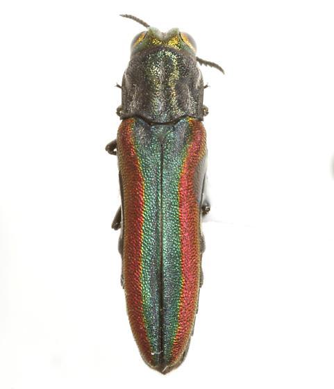 Agrilus pulchellus Bland - Agrilus pulchellus