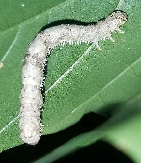*Deceptive **Chameleon Caterpillar... - Campaea perlata