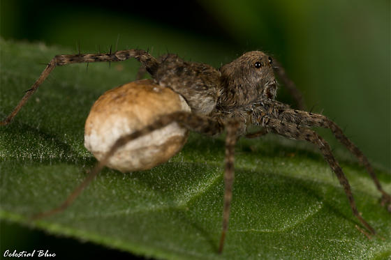 What kind of spider is this? And is that an egg sack? Think it is... - Pardosa