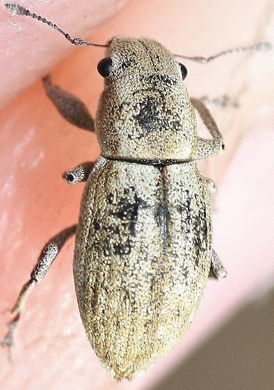 Curculionid - Naupactus tesselatus