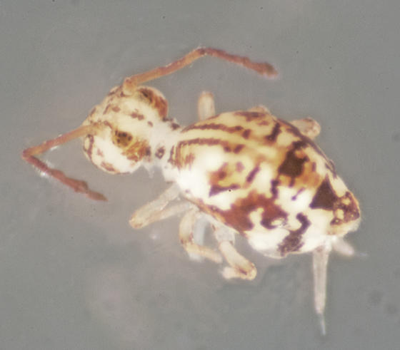 Family Dicyrtomidae; possibly Calvatomina sp. - Calvatomina