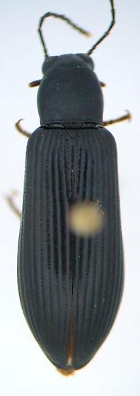 Strongylium tenuicolle