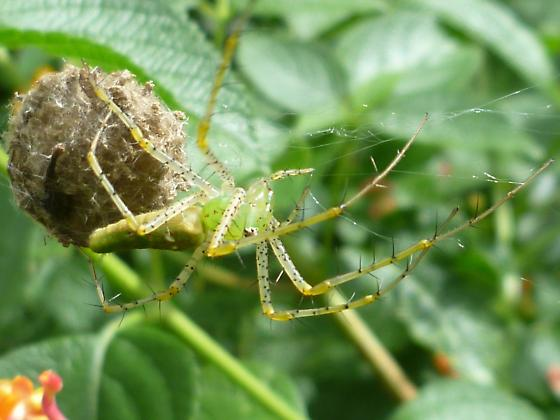 Whose eggs are these in the lantana? - Peucetia viridans