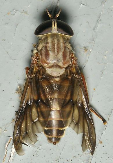 Brown horsefly