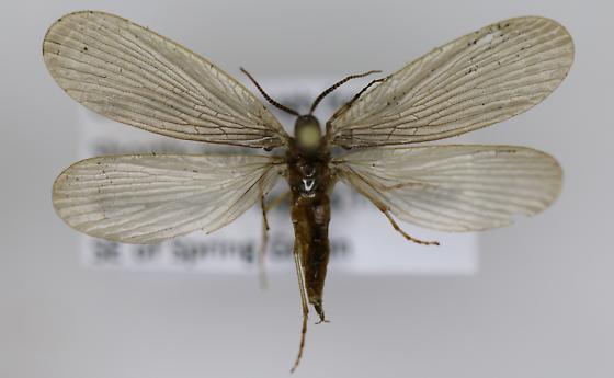 Forcepfly - Merope tuber - female