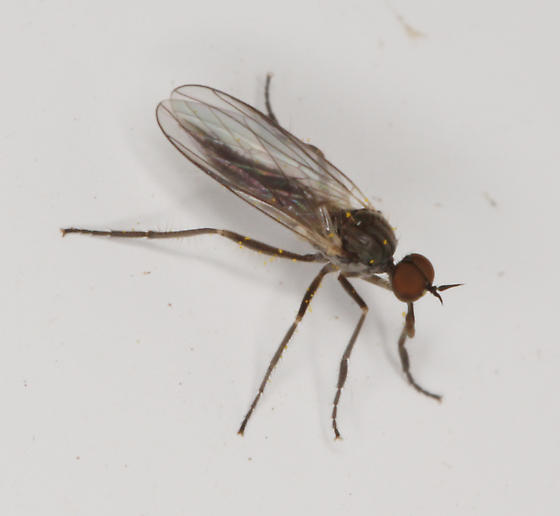 Empididae, dorsal - Rhamphomyia - male