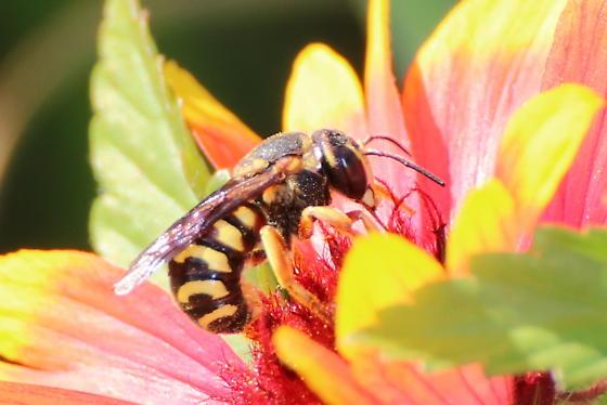 Dianthidium bee? - Dianthidium