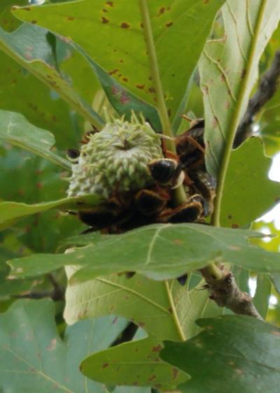 Unknown Bee - Protoxaea gloriosa