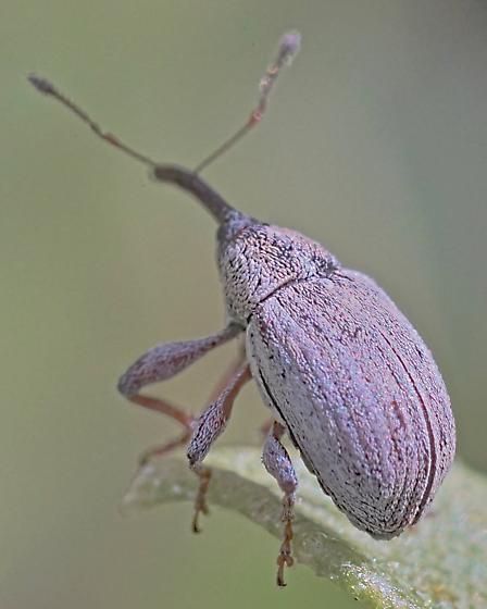 Beetle ~4.8mm - Anthonomus