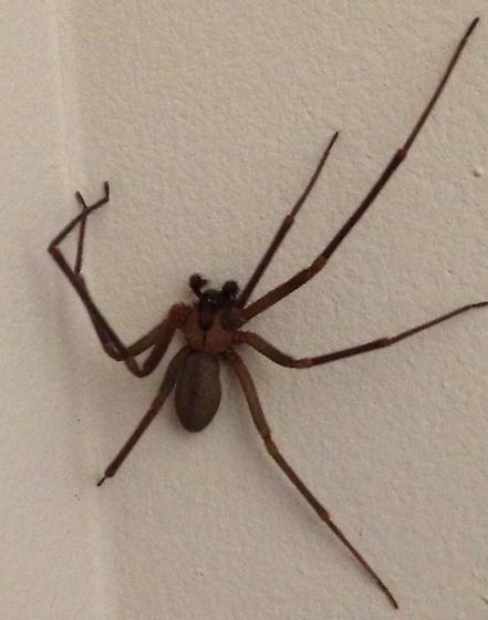Is this a Brown Recluse? - Loxosceles reclusa