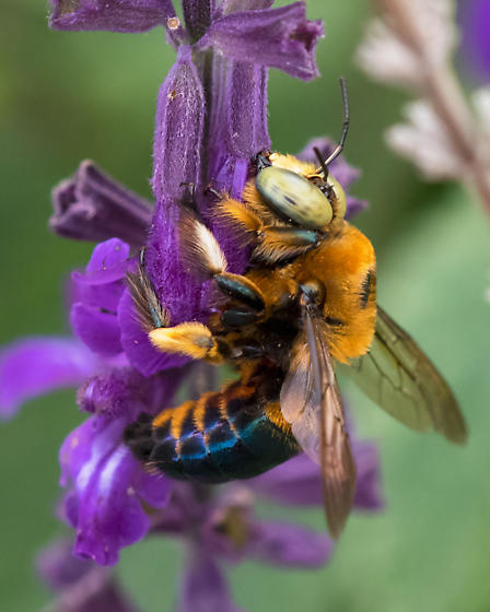Bee with Yellow Eyes and Blueish Body - Xylocopa micans - male