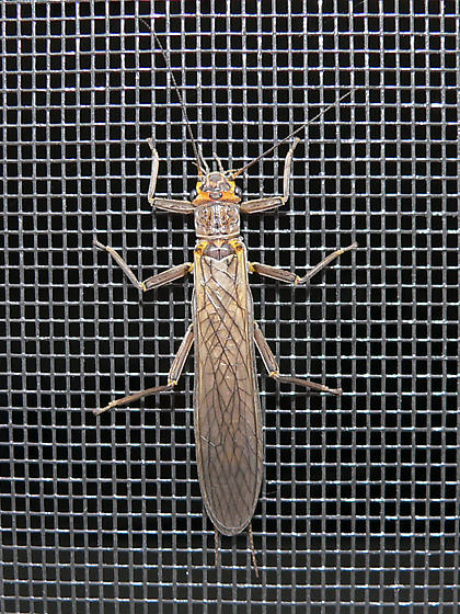 Is it a Plecoptera??? - Acroneuria