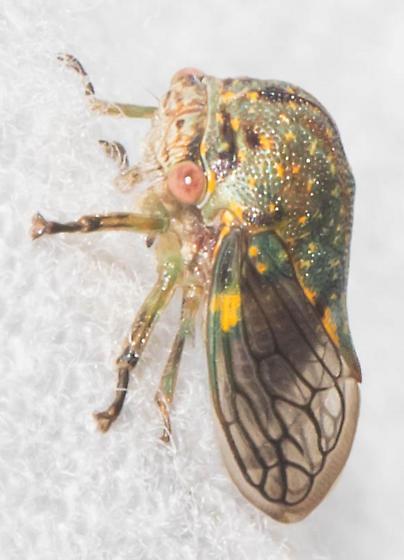Orange-spotted treehopper - Platycotis vittata