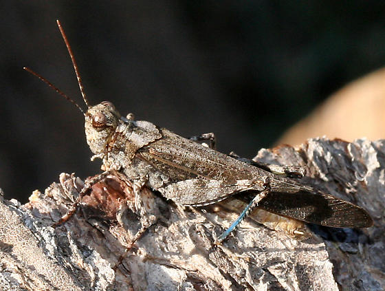 blue-legged grasshopper - Trimerotropis verruculata - male