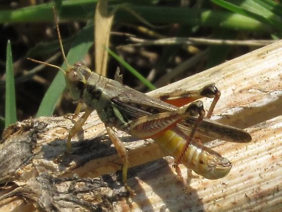 Acrididae sp - Melanoplus - male