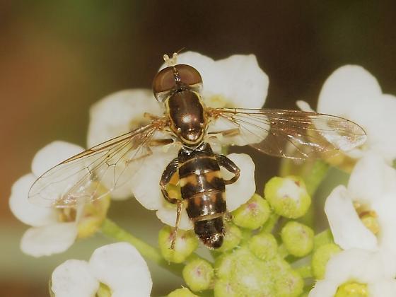 Syrphidae? 4 - Toxomerus occidentalis - male