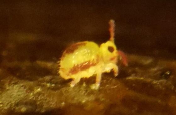 Globular springtail - Sminthurides malmgreni