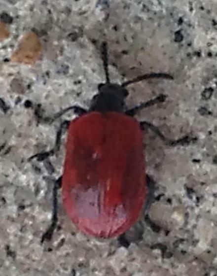 Beetle - Lilioceris cheni