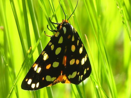 Spotted Moth - Arctia virginalis