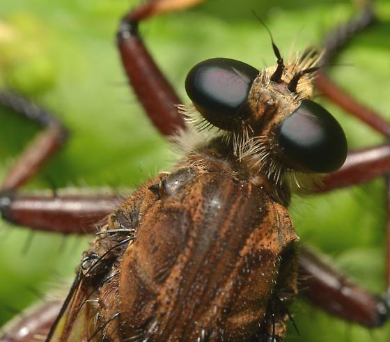 Efferia? - Promachus hinei - female