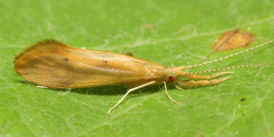 Longhorned Caddisfly