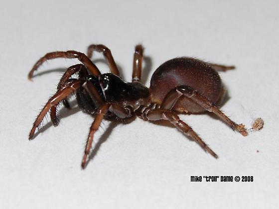 folding door spider? - Atypoides riversi - female