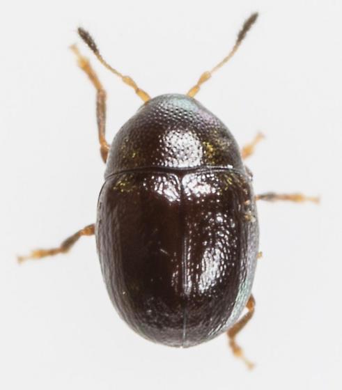 Beetle - Euxenus punctatus