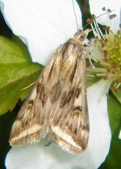 Flower moth 041516 - Loxostege