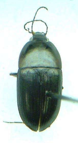 Oodes amaroides