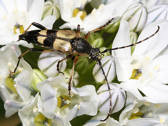 flower longhorn - Etorofus soror