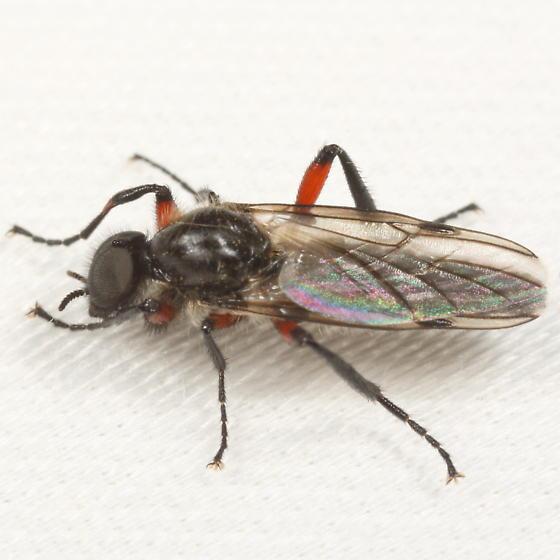 Bibio - Bibio femoratus - male