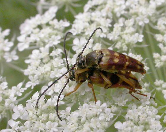 Typocerus velutinus - male - female