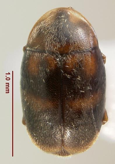Clypastraea lepida