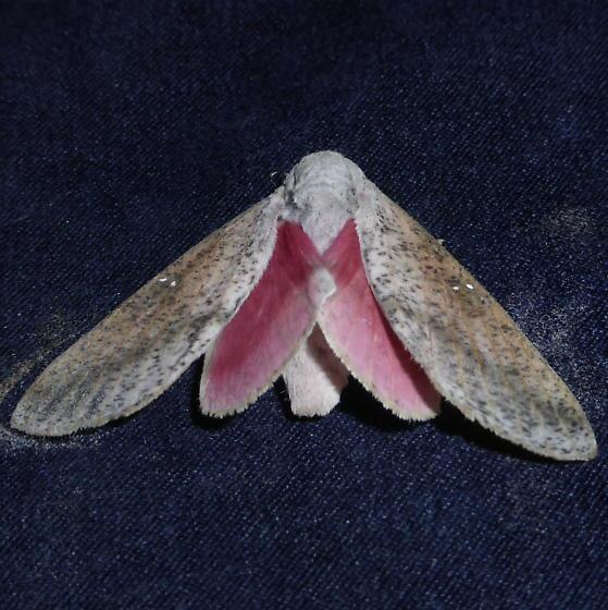 7709   Honey Locust Moth   (Sphingicampa bicolor) - Syssphinx bicolor