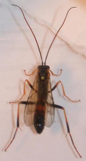 Ichneumon from Trichiosoma cocoon
