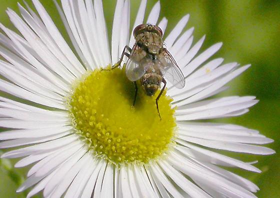 Miltogramminae Fly - Senotainia