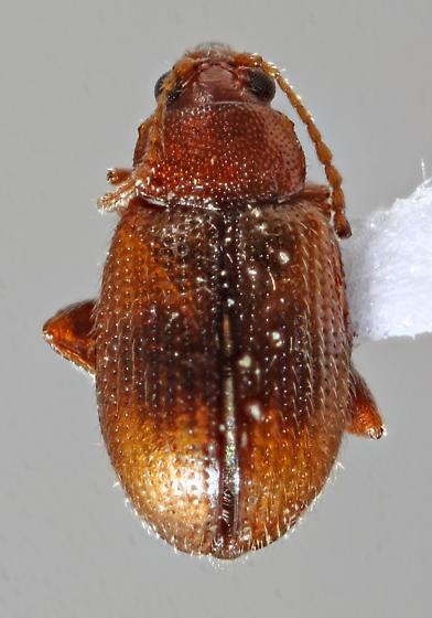 Roseville20-J01 - Epitrix hirtipennis